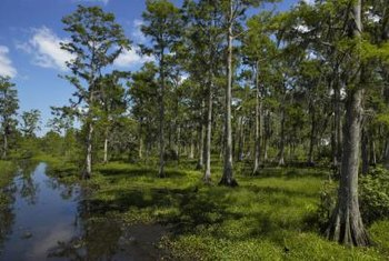 Removal of cypress trees from their natural environment outpaces regrowth.