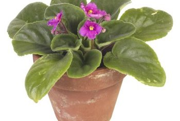 African violet house plants need warm temperatures for propagation.