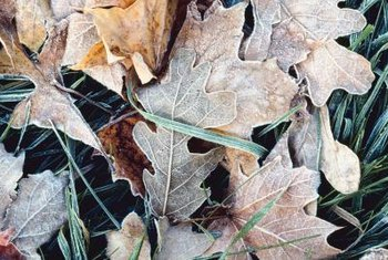 Oak leaf mulch improves soil structure.