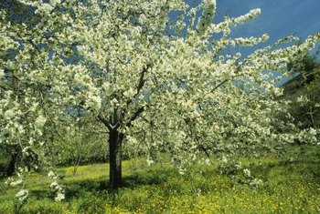 Most fruit trees sold commercially are grafted.