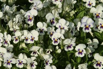 Perennial pansies blossom from spring into fall.