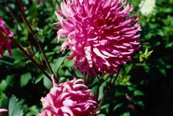 Healthy chrysanthemums produce large, well-formed flowers.