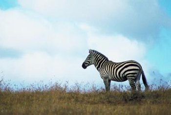 "The name ""Zebra"" is a metaphor for the character's love of running."