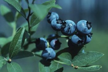 Blueberry plants thrive in acidic soil.