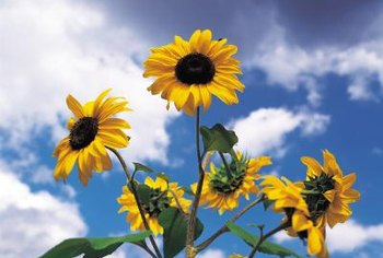 Sunflowers can become a distraction in the garden.