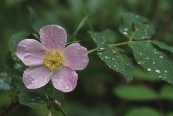 Modern roses owe some of their best qualities to their wild ancestors.