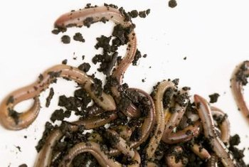 Ordinary earthworms aren't hardy enough for a composting bin, but the closely related redworms thrive there.