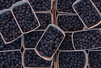 Huckleberries grow easily in regular garden soil.