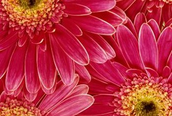 Gerber daisies thrive in warm climates.