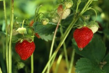 Strawberries grow in U.S. Department of Agriculture plant hardiness zones 3 through 10.