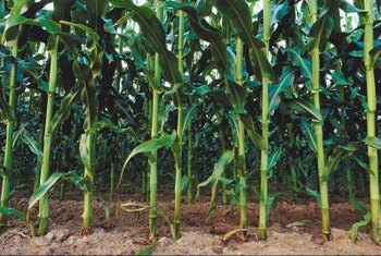 Corn should be grown in blocks to assure pollination.