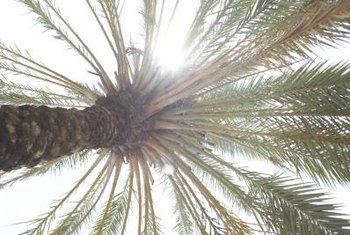 Large, feathery, gray-green fronds are characteristic of pygmy date palms.
