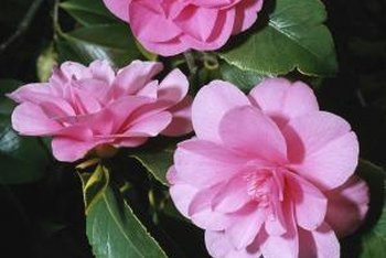 Camellia shrubs develop masses of flowers.
