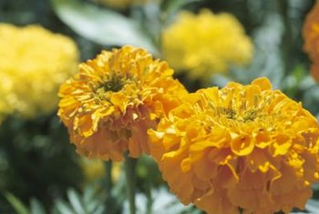 Deadhead African marigolds frequently to keep them blooming throughout the summer.