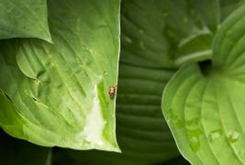 Their need for shade and moisture makes hostas prone to fungal diseases.