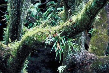 Staghorn ferns come from the forests of Asia and Australia.
