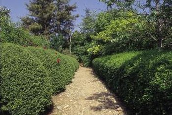 A hedge of trimmed boxwood provides a dense and interesting barrier.