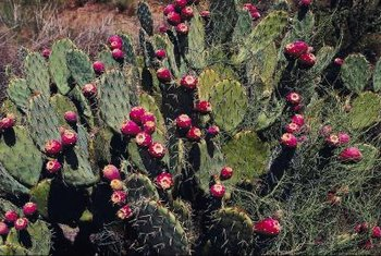 Prickly pear cacti are highly valued for their sweet, purple fruits.