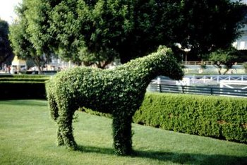 Privet hedges may be trimmed into a variety of shapes, from rounded balls to fascinating topiary shapes.