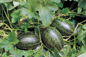 Watermelons can grow up fences with the right support system.