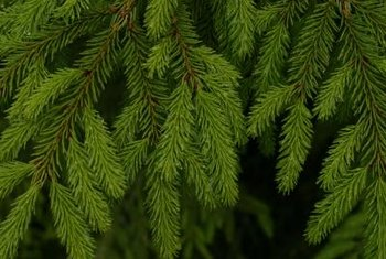 With proper care, weeping Norway spruce cuttings will develop roots in eight to 14 weeks.