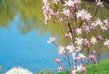 Flowering shrubs, like magnolia, transplant most successfully when still small.