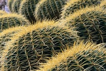 It is illegal to remove barrel cactus or their flowers from the wild in some areas.