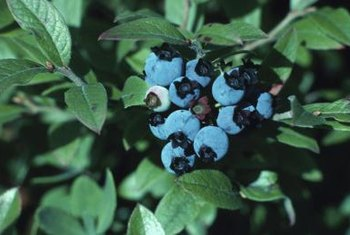 The chemical juglone in walnut trees will kill blueberry bushes.