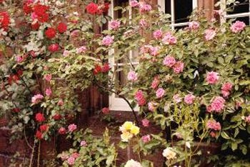 Climbing roses growing up fences and walls add a whimsical, cottage feel to landscapes.