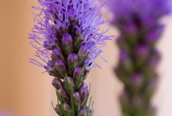 Liatris produces pink, blue, lavender or white flowers.