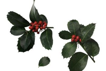Holly berries add to the winter color palatte of your home's landscape.