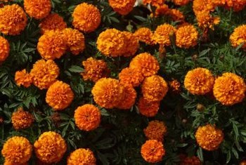 Marigolds bloom in shades of orange, yellow or red.