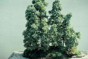 Cedar of Lebanon bonsai grow in formal, informal upright or group styles.