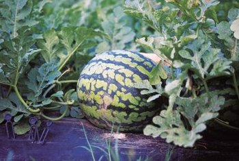 The type of fertilizer determines how long to wait before planting watermelons.