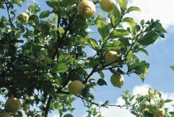 Variegated lemon trees can grow as shade or accent trees.