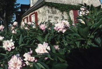 Tree peonies are woody shrubs, not trees.