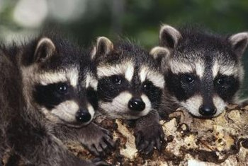 Raccoons may look cute but the damage they cause is not.