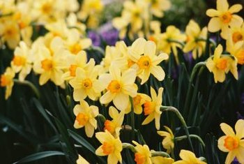 Daffodils add a splash of color to your spring garden.