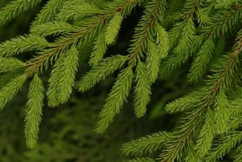 The dwarf Alberta spruce has soft, light green needles.