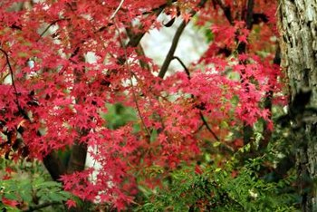 The vibrant foliage on a Japanese maple tree makes an excellent focal point in the landscape.