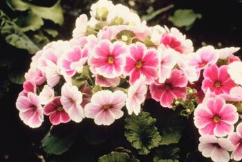 Florist's primrose forms a neat little mound that is perfect for containers.