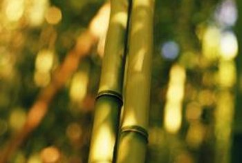 Bamboo varieties are actually tall, hollow-stemmed grasses.