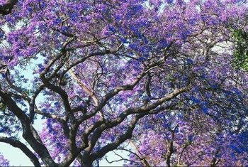 Jacaranda's blue-purple flowers produce winged seeds.