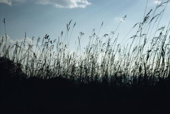 Deep-rooted grasses can withstand summer drought.