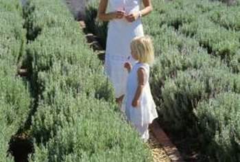 Lavender plants grow in natural hedges when planted in rows.
