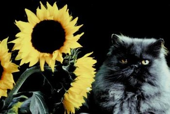 Your cat will not be seriously harmed if he ingests part of your sunflowers.