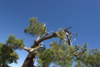Trees that grow too fast are prone to storm damage.