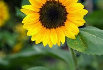 Sunflowers come in a range of sizes and types.