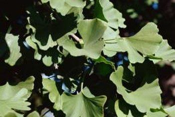 Fan-shaped leaves are a charming feature of the maidenhair tree.