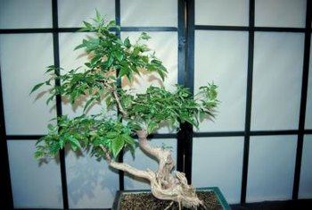 Wild trees can make interesting bonsai specimens.